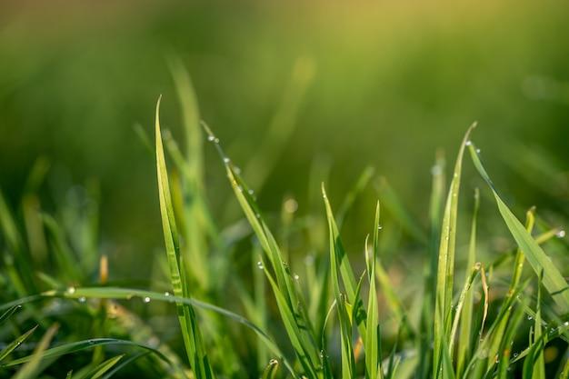 緑の芝生と朝露の滴。露と新鮮な緑の芝生はクローズアップを削除します。