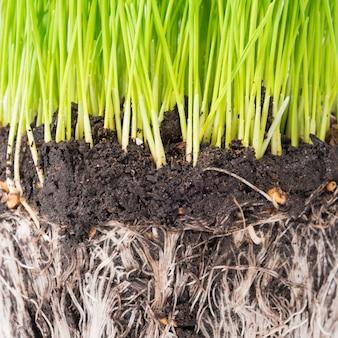 緑の草と白い背景で隔離の植物の根を持つポットからの土壌。マクロ撮影