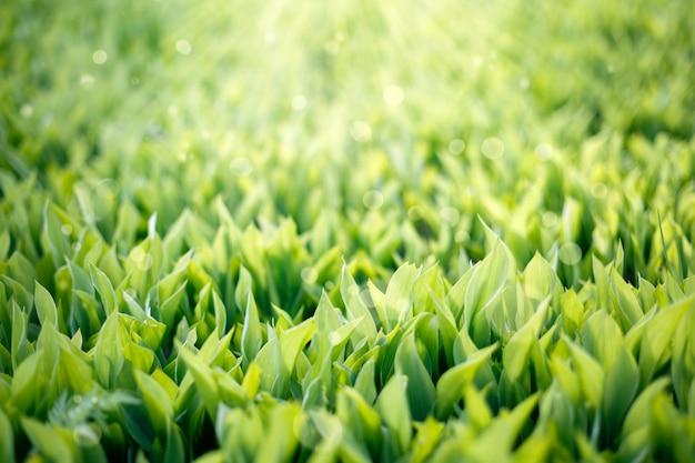 緑の草の背景。晴れやかなまぶしさを持つユリの谷。