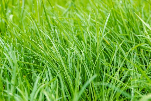 Green grass background in soft-focus.