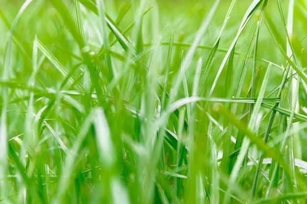Green grass background in soft-focus Premium Photo