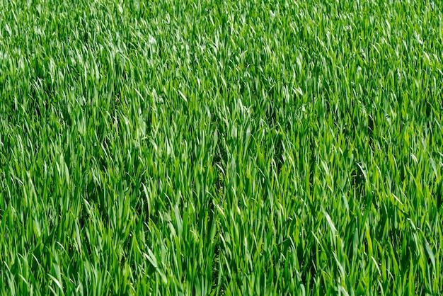 Зеленая трава фоновой текстуры. элемент дизайна.