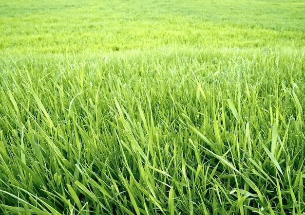 푸른 잔디 배경입니다. 벽지