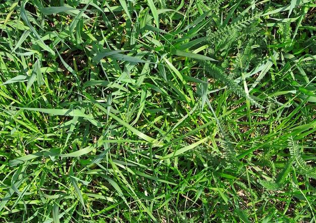 Green grass background.  the wallpaper