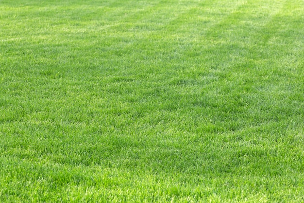 Green grass background young lawn in summer under the sun on a field in a public park high quality photo