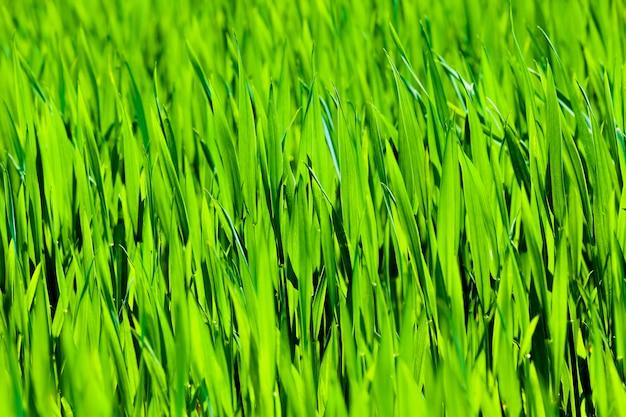 緑の草は小麦やライ麦が育つ農地にクローズアップ