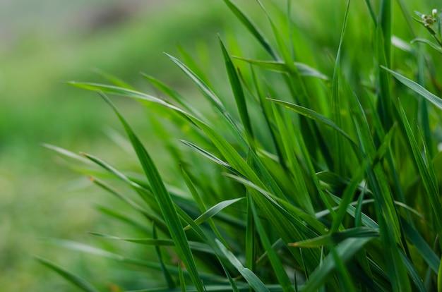 言葉のためのスペースを持つ抽象的な背景としての緑の草のクローズアップ