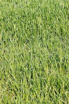 緑の草のクローズアップ