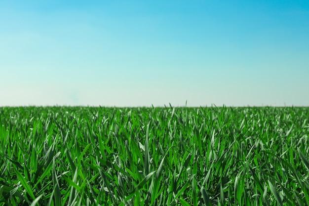 Поле зеленой травы, пространство для текста. красивая весенняя зелень