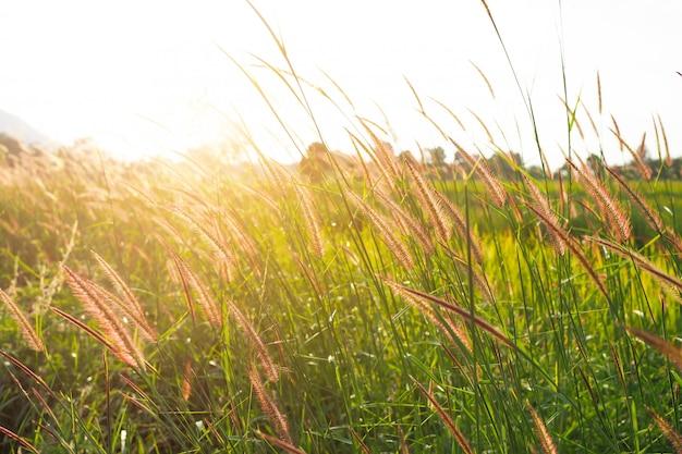 背景がぼやけて夕日と緑の草の花の自然。