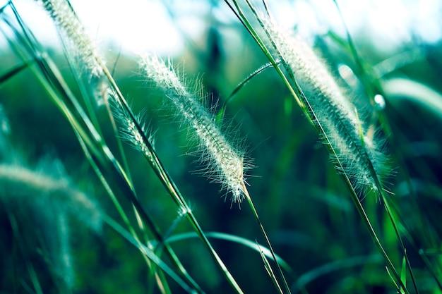 배경에 대 한 일몰과 함께 푸른 잔디 꽃입니다. 소프트 포커스
