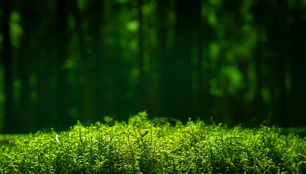 Green grass from bottom or low angle view in sunlight with blurry pine forest background with copy space for text.