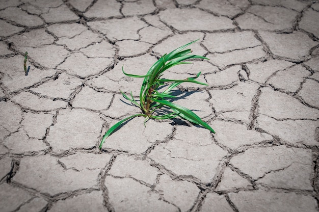 Green grass grew in dry cracked ground