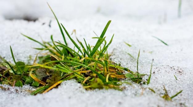 Зеленая трава растет из снега