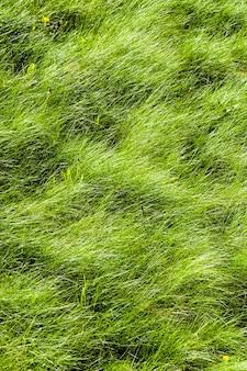 푸른 잔디는 초원에서 자랍니다.