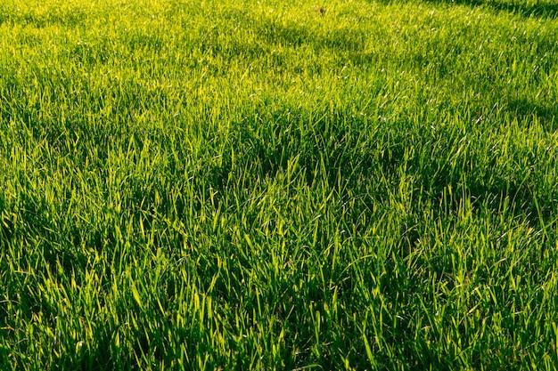 태양에 의해 조명하는 녹색 잔디. 자연 배경