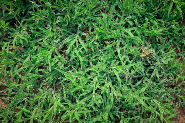 자연의 푸른 잔디, 나뭇잎에 이슬이 맺힌 신선한 아침, 자연 배경 이미지