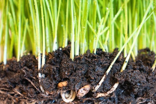 水滴と根、マクロショットと土壌の緑の草