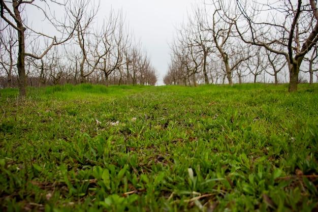 リンゴ園の緑の草。葉のない木。春の庭。背景がぼやけている。