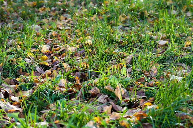 Зеленая трава в осенний сезон, начало осени и первые месяцы, крупным планом зеленая трава во время осеннего листопада
