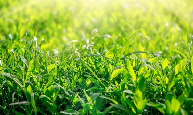 太陽の光の中の緑の草。デザイン用