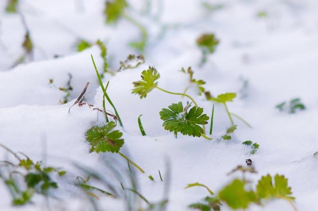 緑の草は雪で覆われています。初雪。春には雪の中を草が芽生えます_