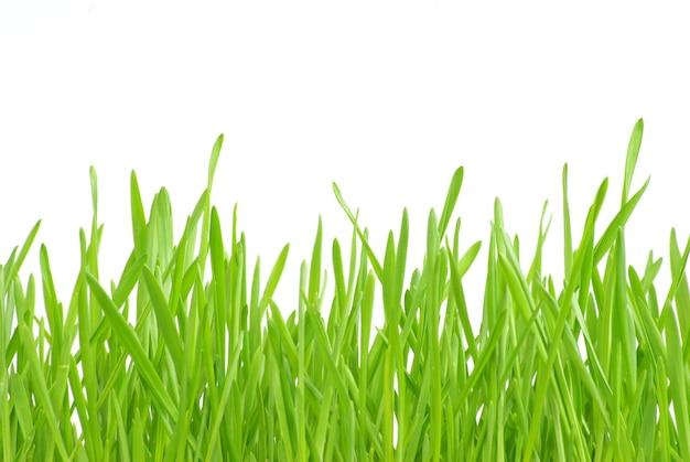 흰색 배경에 고립 된 푸른 잔디