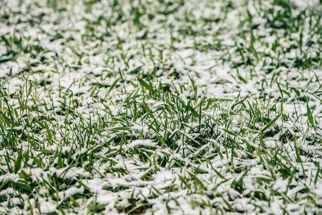 Green grass on lawn, covered with white snow. crystals of ice on plants. unexpected snow in springtime. spring anomaly. weather phenomenon.