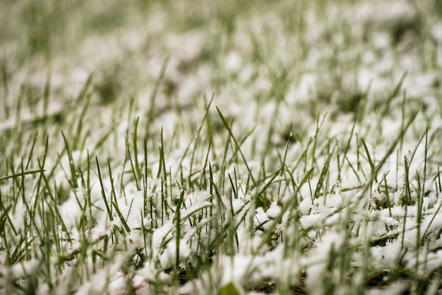 Green grass on lawn, covered with white snow.
