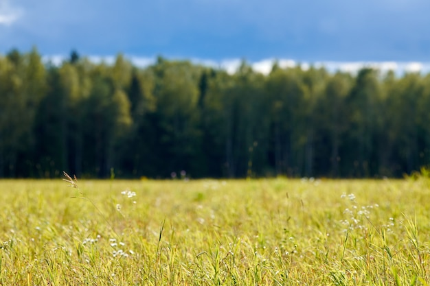 Green grass, meadow field, forest background. summer landscape, pasture cattle. beautiful grass and forest background for design.