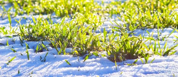 晴天時の白い雪の上の緑の草