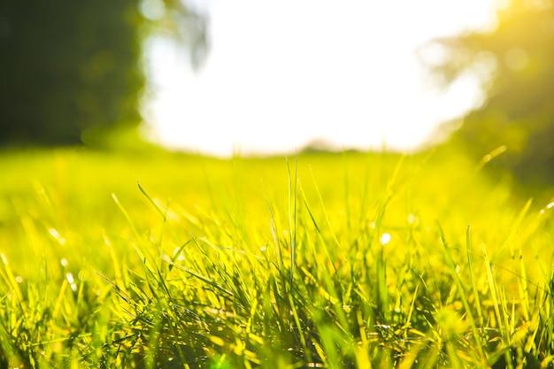 夕日の光の中で屋外の緑の草。晴れた日の夏の春の牧草地の風景。自然環境にやさしい写真。壁紙。