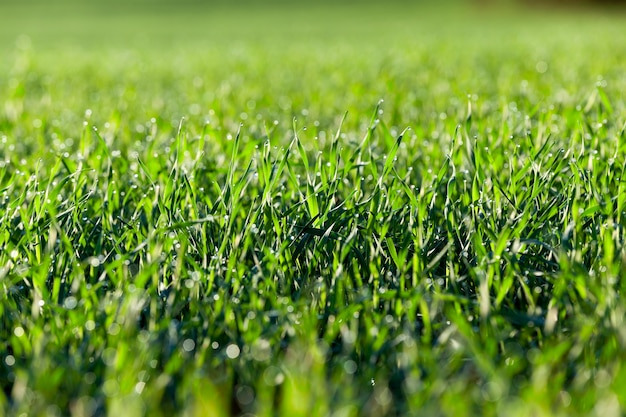 녹색 잔디 식물 밀 농업 분야에서 성장