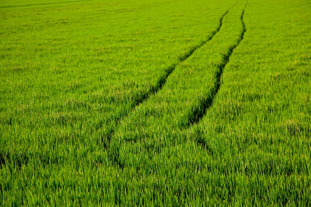 Green grass rice field in spain valencia