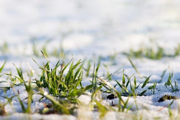 緑の草が雪の中を芽生えます。晴れた冬の日。春の初めの晴れた日_