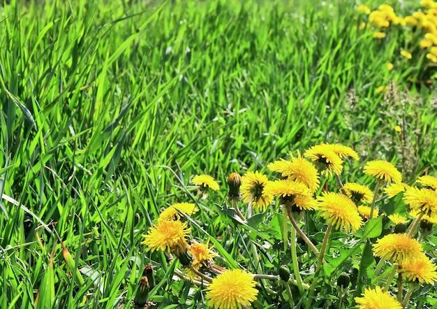 푸른 잔디 여름 날, 민들레 초원입니다.