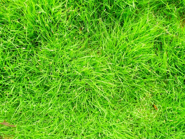 Green grass texture background top view of bright grass background of a green grass