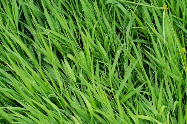 Green grass texture of background.