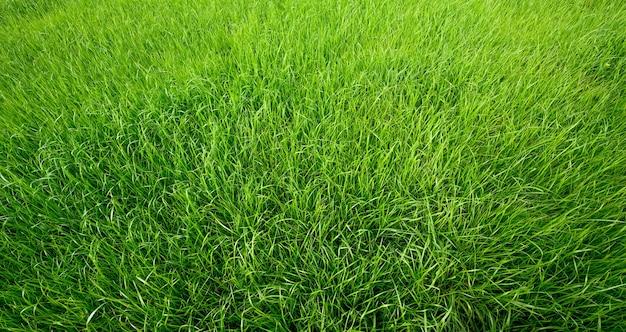 背景の緑の草のテクスチャ。ナチュラルグラスフィールド。