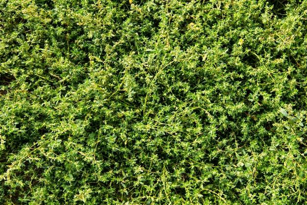 푸른 잔디 텍스처입니다. 자연 배경