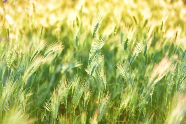 일몰에 녹색 잔디 텍스처입니다. 자연 배경