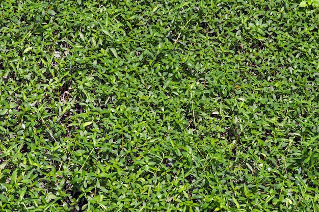 Green grass texture, top view of bright grass garden used for making green backdrop and background