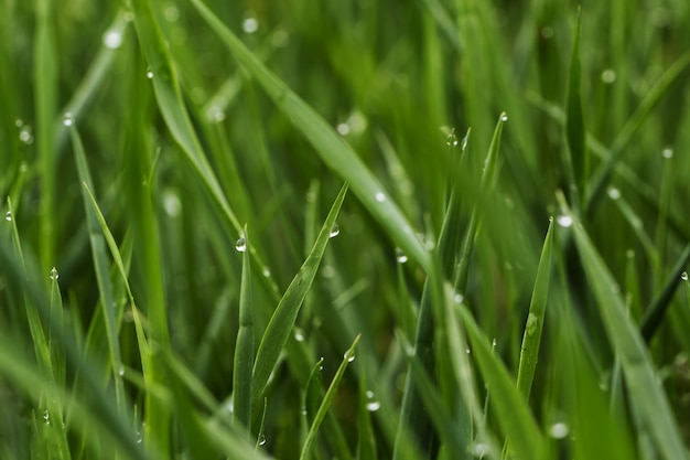 Green grass with dew, close up.