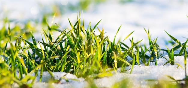 雪の背景に露が落ちる緑の草。晴れた冬の日。春の初めの晴れた日。パノラマ_