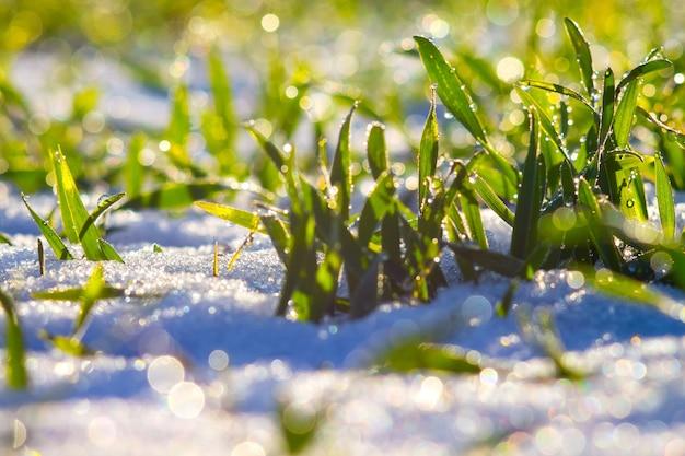 이슬이 있는 푸른 잔디는 눈 배경에 떨어진다. 화창한 겨울 날입니다. 봄이 시작되는 화창한 날_