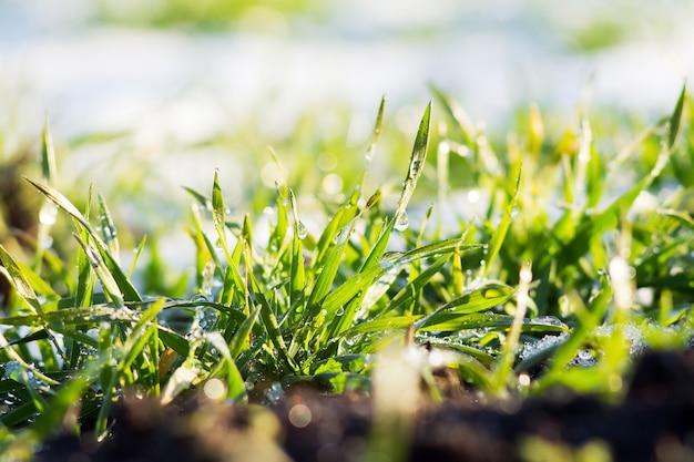 雪の背景に露が落ちる緑の草。晴れた冬の日。春の初めの晴れた日_