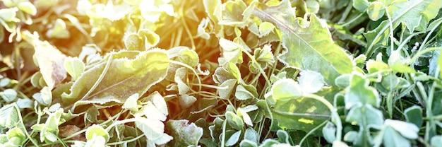 Зеленая трава с утренним инеем и солнечным светом в саду, замороженная трава с инеем на лугу на восходе солнца. текстурированный узор естественного фона. баннер. вспышка