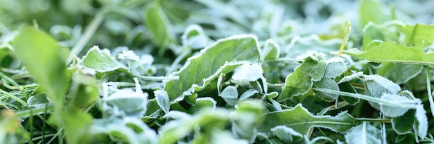 Зеленая трава с утренним инеем и солнечным светом в саду, замороженная трава с инеем на лугу