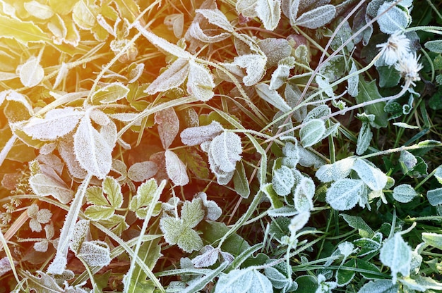 Green grass with morning hoarfrost in garden, frozen grass with frost on meadow at sunrise. textured pattern of natural background. top view. flare