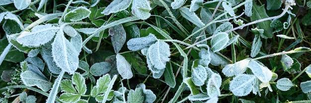 Зеленая трава с утренним инеем в саду, замороженная трава с инеем на лугу на восходе солнца. текстурированный узор естественного фона. вид сверху. знамя